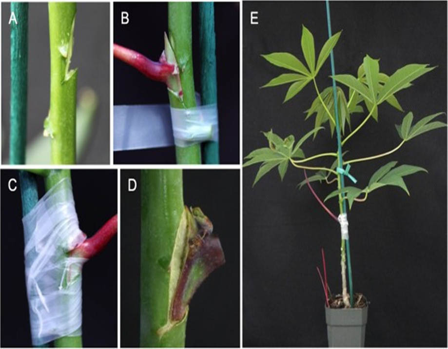 Biodegradable film for grafting